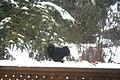 Squirrel in the snow 0099 (4171695039).jpg