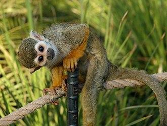 Common squirrel monkey - Image: Squirrelmonkey 01
