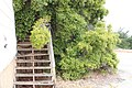 Staircase overwhelme by foliage at Fort Ord.jpg