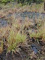 Starr-011205-0108-Hyparrhenia rufa-habit-Hwy11 HAVO-Hawaii (23917134293).jpg