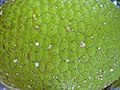 Starr-040318-0065-Artocarpus altilis-fruit-Maui Nui Botanical Garden-Maui (24673425426).jpg