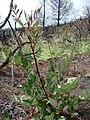 Starr-070908-9397-Rubus niveus-form b coming up in post fire planting area-Polipoli-Maui (24866870206).jpg