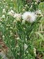 Starr-081230-0730-Conyza bonariensis-seedheads-LZ1-Kahoolawe (24300516823).jpg