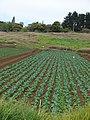 Starr-090430-6761-Brassica oleracea var capitata-crop-Kula-Maui (24657792860).jpg