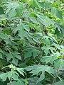 Starr-090519-8022-Tithonia diversifolia-leaves-Kula-Maui (24862312251).jpg