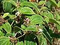 Starr-090526-8546-Clidemia hirta-flowers and leaves-West Poelua West Maui-Maui (24863635421).jpg