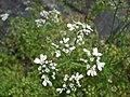 Starr-090601-8666-Coriandrum sativum-flowers-Ulupalakua greenhouse-Maui (24330232654).jpg