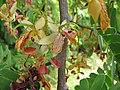 Starr-090720-2969-Tamarindus indica-flowers-Waiehu-Maui (24343141413).jpg