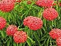 Starr-090806-3841-Ixora sp-globe like flowers-Wailuku-Maui (24340805464).jpg