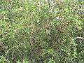 Starr-090806-4039-Spondias purpurea-fruiting habit-Kahului-Maui (24853812452).jpg