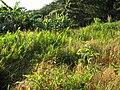 Starr-091112-1059-Clidemia hirta-habit-West Maui-Maui (24358778634).jpg