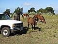 Starr-100302-3100-Opuntia ficus indica-habit with horse grazing near Tahoe-Kaonoulu Ranch Kula-Maui (24715643370).jpg