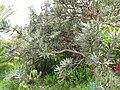 Starr-110307-2517-Banksia menziesii-habit-Kula Botanical Garden-Maui (24782615360).jpg