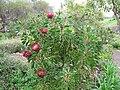 Starr-110307-2750-Protea cynaroides-flowering habit-Kula Botanical Garden-Maui (24783124980).jpg
