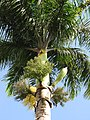 Starr-110330-3798-Roystonea regia-flowers and fruit-Garden of Eden Keanae-Maui (24987436731).jpg
