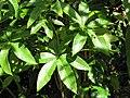 Starr-110330-3813-Pachira aquatica-leaves-Garden of Eden Keanae-Maui (24450098304).jpg