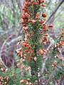 Starr-110331-4600-Erica lusitanica-flowers and leaves-Shibuya Farm Kula-Maui (24988659601).jpg