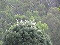 Starr-110503-5496-Cinnamomum camphora-habit with cattle egret roosting-Ulupalakua-Maui (24799255200).jpg