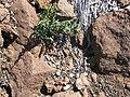 Starr-110515-6539-Pellaea ternifolia-habit with goat poop-Science City-Maui (24468272593).jpg