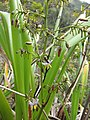 Starr-120425-4844-Dianella sandwicensis-form multipedicellata-Waikapu Valley-Maui (24772070029).jpg
