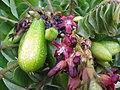 Starr-130221-1596-Averrhoa bilimbi-fruit and flowers-Waihee-Maui (24575437074).jpg