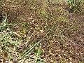 Starr-130320-3398-Ageratum conyzoides-habit with Zizina otis Lesser grass blue-Mokolea Pt Kilauea Pt NWR-Kauai (25182831726).jpg