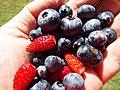 Starr-130818-0474-Vaccinium hybrid-Southern Highbush blueberries with alpine strawberries-Hawea Pl Olinda-Maui (25233663706).jpg