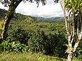 Starr-140909-1626-Hibiscus tiliaceus-habit view mauka into Koolau Gap-Wailua-Maui (24949997470).jpg