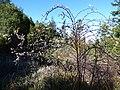 Starr-170304-0161-Rubus niveus-thorny stems-Boundary Trail Polipoli-Maui (33341435056).jpg