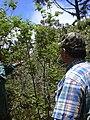 Starr 030603-0024 Rubus hawaiensis.jpg