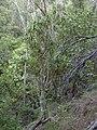 Starr 031023-0001 Pleomele auwahiensis.jpg