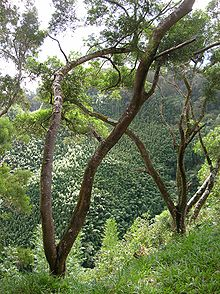 Acacia Confusa Wikipedia
