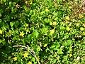 Starr 050404-5397 Oxalis corniculata.jpg