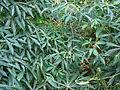 Starr 061212-2344 Manihot esculenta.jpg