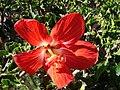 Starr 061223-2684 Hibiscus rosa-sinensis.jpg