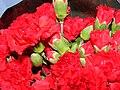 Starr 070730-7932 Dianthus caryophyllus.jpg