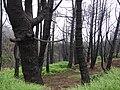Starr 070908-9156 Pinus sp..jpg