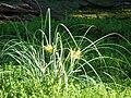 Starr 080422-4300 Cyperus javanicus.jpg