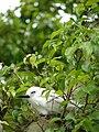 Starr 080607-7152 Ficus benjamina.jpg