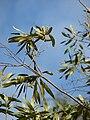 Starr 080611-8472 Olea europaea subsp. cuspidata.jpg