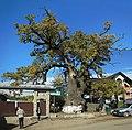 Stejarul multisecular din Cajvana.jpg