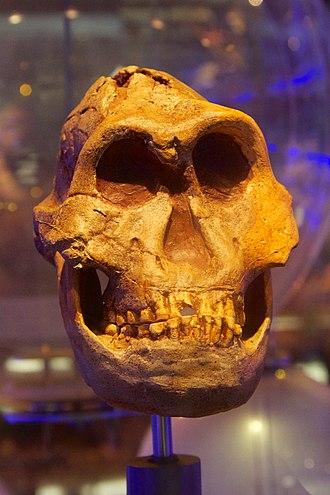"Paranthropus robustus - ""Eurydice"", DNH-7"
