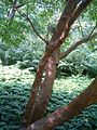 Stewartia pseudocamellia BotGardBln07122011Bark.JPG