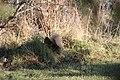 Stirling Squirrels 0006 (4099180652).jpg