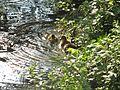 Stockentenküken im Raffelbergpark.jpg