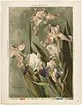 Study of Iris (Boston Public Library).jpg