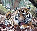 Sumatra Tiger 2012-30-12.jpg