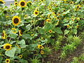 Sunflowers, S2006 2.JPG