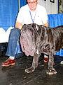 Super duper mega ultra wrinkly Neopolitan mastiff.jpg