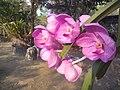 Suvarnabhumi Orchids Farm IMG 20160322 080807 (27170410520).jpg